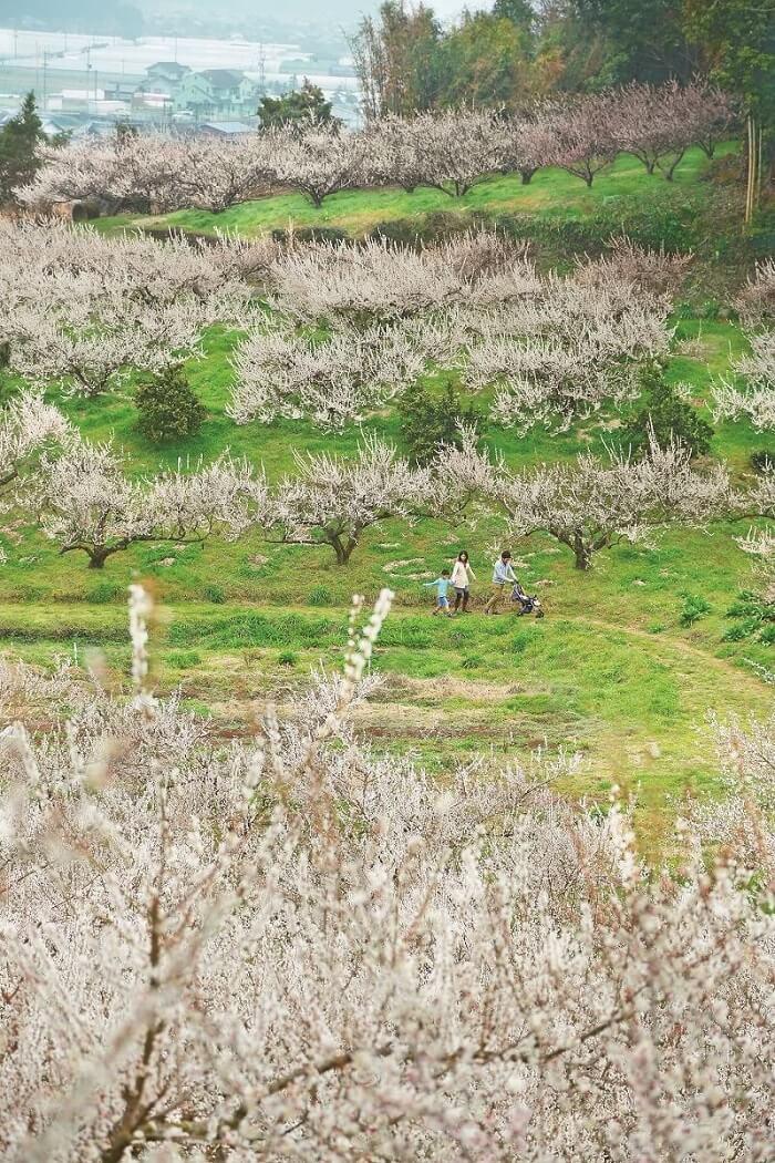 夢たちばな観梅会2020 九州の梅の三名園「八女 谷川梅林」で3万本の白梅を観賞できるイベント