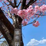 久留米市荒木町の鷲塚公園では「陽光桜」が見ごろ!