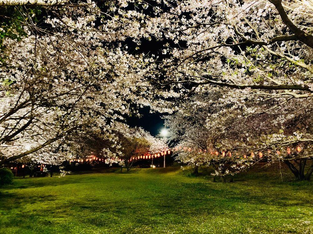 岡山公園(八女市)の桜をご紹介