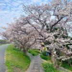 【花見スポット】新船小屋堤防 桜並木(みやま市)の桜をご紹介