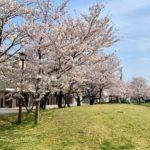 八女公園(八女市)の桜をご紹介