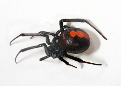 久留米市でセアカゴケグモを10匹発見 近所で見つけても触らず市へ通報を