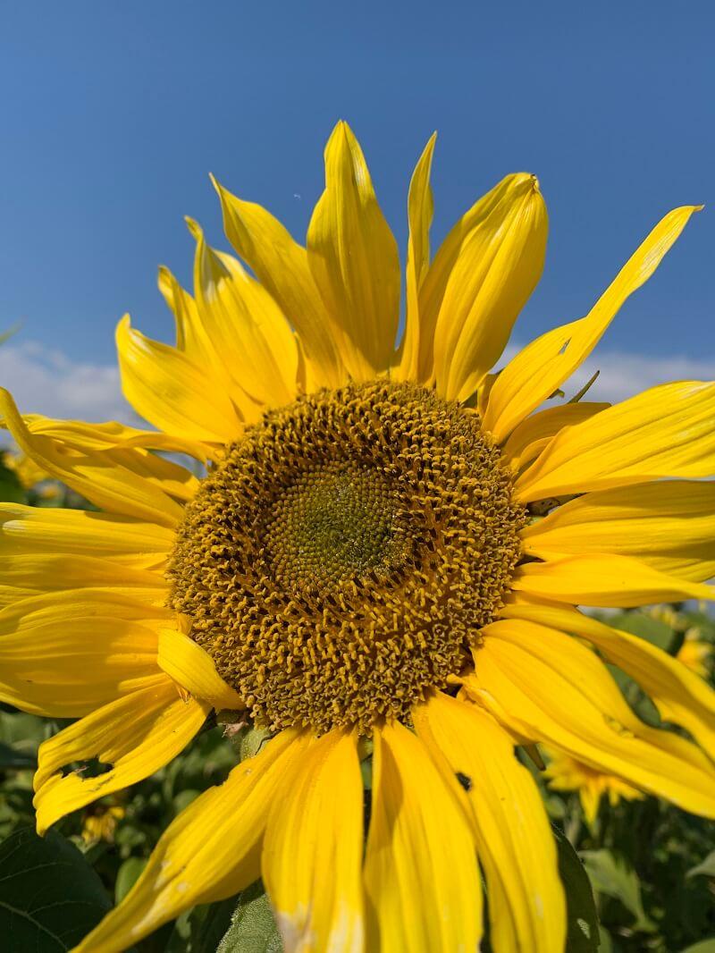 柳川の夏の観光スポット「柳川ひまわり園」が今年は中止へ