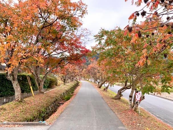 柳坂曽根の櫨並木【久留米】約1.2km続く真っ赤に染まった並木道がとっても綺麗