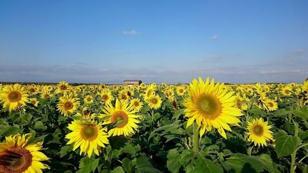 冬のひまわり園【柳川市】3万本のひまわりが咲き誇る