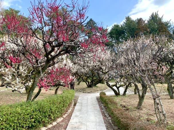 梅林寺外苑(ばいりんじがいえん)に観梅へ 約30種500本の梅の花が見頃を迎える