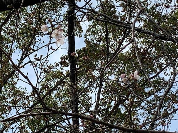 筑後の「桜」が咲いてたので勝手に開花宣言を発表しちゃいます!【3月14日】