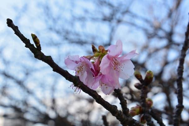 福岡県で桜の開花 観測史上もっとも早く