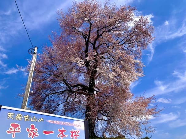 平家一本桜【みやま市】平家ゆかりの地を見守る樹齢250年の大樹