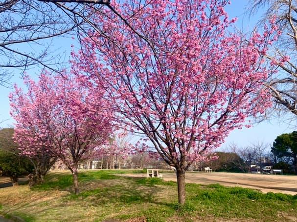 鷲塚公園の陽光桜が一足先に見頃!桜まつりは今年も中止に【久留米市荒木町】