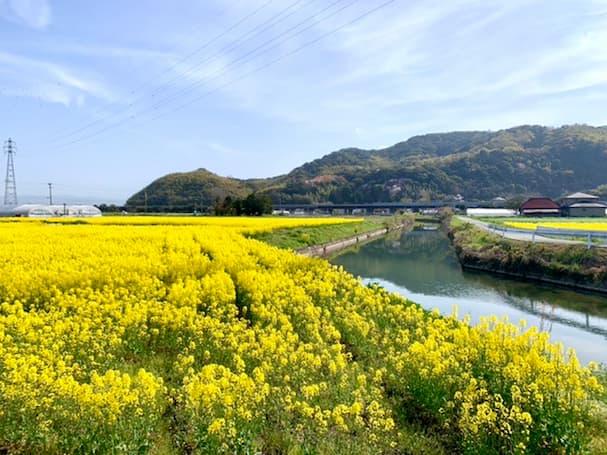 みやま市の一面に広がる菜の花畑がキレイ 近くの老松神社には指定史跡
