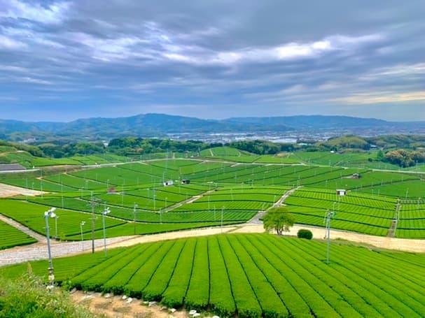 「八女中央大茶園」新茶の季節到来!展望所から見る広大な茶畑の美しさに酔いしれる