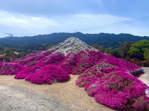 田主丸町の「芝桜富士」 色鮮やかに彩られた富士のスケールが凄い【見ごろの春花】