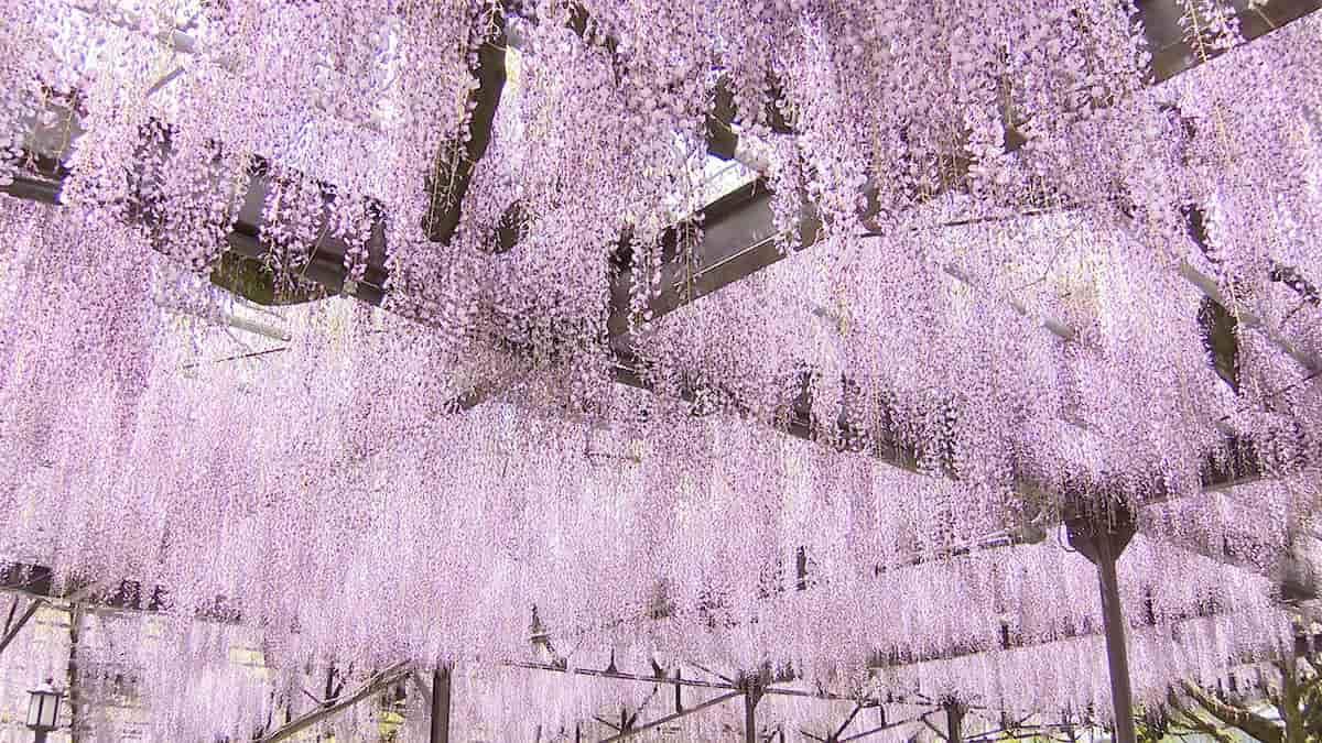 【6月6日放送】八女市黒木町 ゆれる紫!藤の花の咲く町で「新 窓をあけて九州」